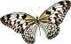 butterfly-layer-1